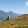 sheep standing in the valley against the background of the high mountains of the Caucasus